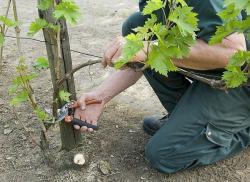 secateur-vigne.jpg